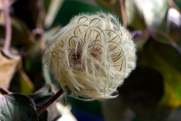 "Clematis ""Henryi"" final stage"