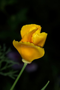 California Poppy- closing for the evening